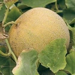 Yellow Fresh Muskmelon