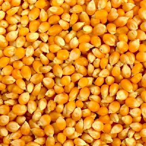 Yellow Maize Seeds