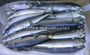 Frozen Horse Mackerel Fish 01
