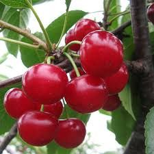 Natural Red Cherries