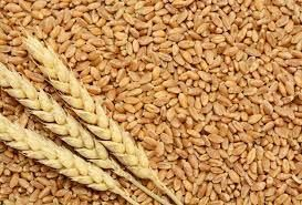 Hard Red Wheat Seeds