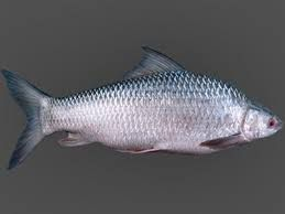 Live Mrigal Naini Fish