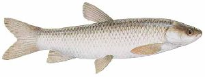 White Grass Carp Fish