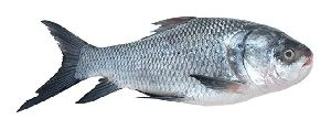 Whole Catla Fish