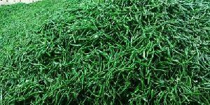 Organic Green Chilli