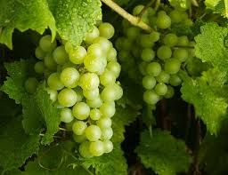 Round Green Grapes