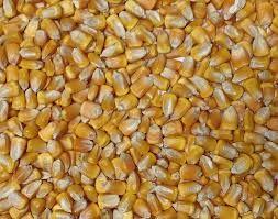 Organic Yellow Corn Kernels