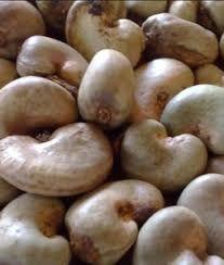 Unprocessed Raw Cashew Nuts