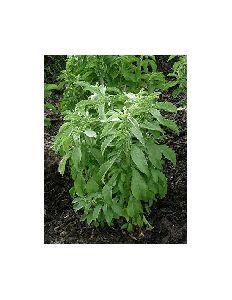 Fresh Stevia Seeds