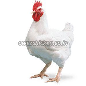 Broiler Breed Chicken