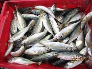 Frozen Mackerel Fish