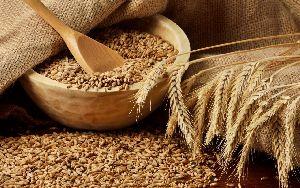 Organic Wheat Seeds