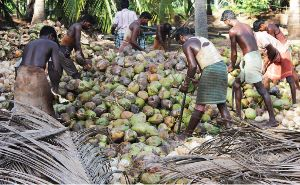 Semi Husked Coconut 03