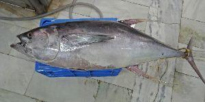 Frozen Yellowfin Tuna Fish