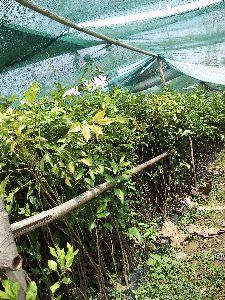 Mosambi Grafted Plant