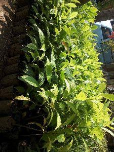Rudhraksha Plant