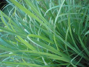 Lemongrass Leaves