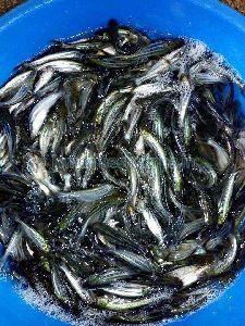 Fish Seeds