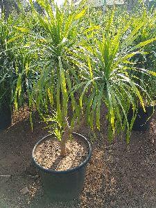 Drasena Drago Plant