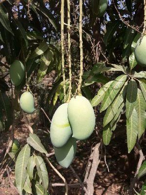 Kesar Mango 02