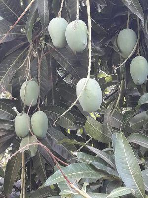 Kesar Mango 03