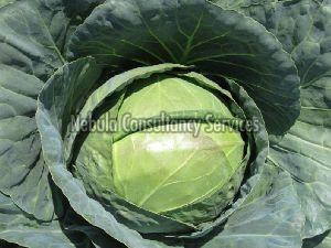 Fresh Hybrid Cabbage
