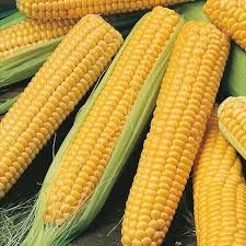 Hybrid Yellow Corn
