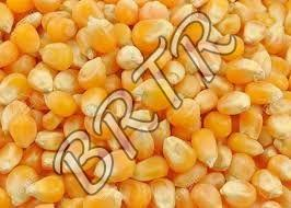 Organic Yellow Maize Seeds
