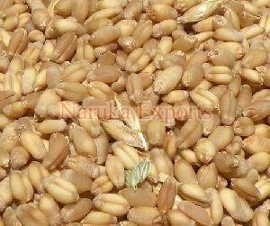 Brown Wheat Seeds