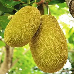 Fresh Natural Jackfruit
