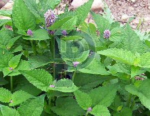 Hyssop Leaves