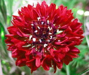 Red Cornflower