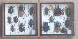 Insect Display Showcase