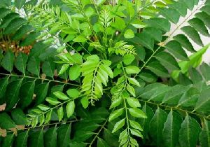 Curry Tree Plant Meetha Neem