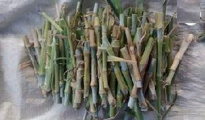Pakchong Hybrid Napier Grass