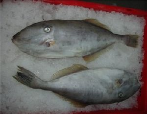 Frozen Leather Jacket Fish