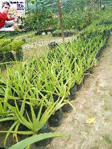 Aloe Vera Green Plant