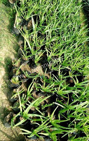 Aloe Vera Green Plants