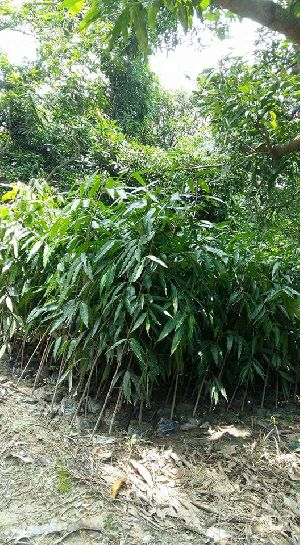 Ashuka Tree