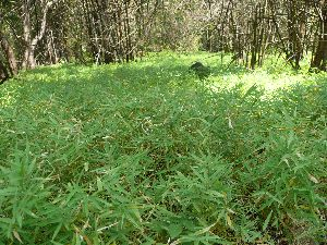 Bambusa Balccoa Plant
