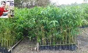 Bambusa Balccoa Plants
