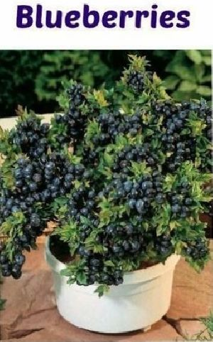 Blueberry Plant - Manufacturer Exporter Supplier in Nagaon India