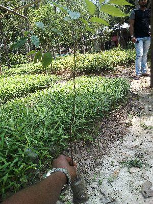 Bogipoma Plant