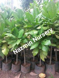 Cashew Nut Plant