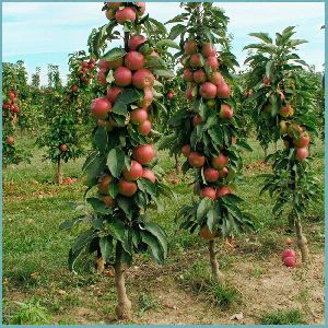 Dwarf Apple Plant