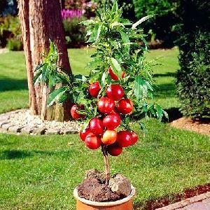 Dwarf Plum Tree
