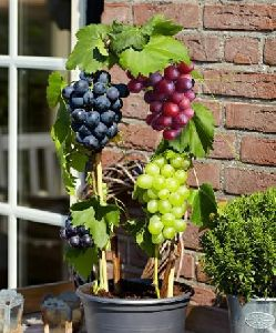 Grape Vines Plant