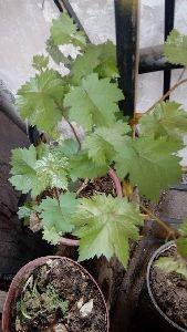 Gratitude Grape Plant