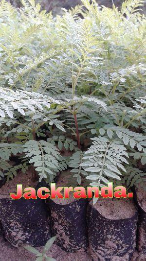 Jacaranda Plant