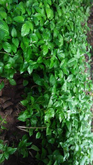 Keserru Plant